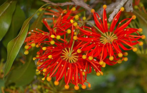 Stenocarpus flower as inspiration source for this design